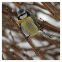 Blue Tit II by Oaken-shield