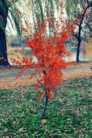 .:Little Red Maple Tree:. by bogdanici