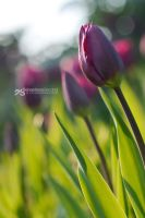 evening glory by akthuro