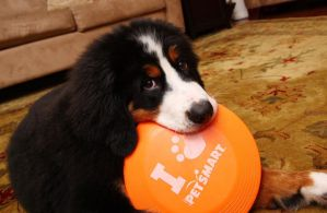Puppies Against Free Frisbees by fudgyvmp