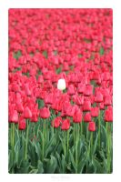 Tulips by MBKKR