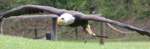 Bald Eagle 2 by Chocomix-Stock