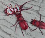 Stag Beetles by shamus