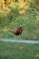 Pheasant Stock 7 by Jaded-Night-Stock