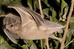 Egyptian fruit bat by Vollmilch2001