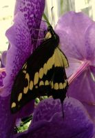 papilio machaon by Hedwigs-art