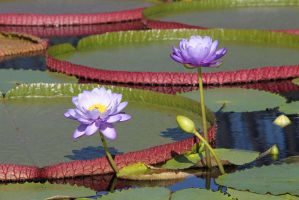 purple water lilies by CASPER1830