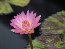 Pink Water Lily by mangafox23