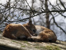 A pair of lynx by piglet365