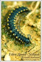 Black yellowspots millipede 2 by vonvonz