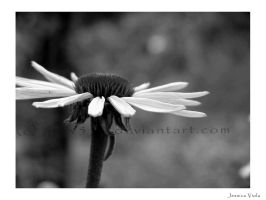 Coneflower1 by javv556