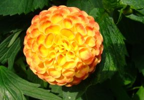 giant marigold by gworks