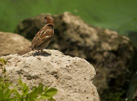 Call of the house sparrow by toshema