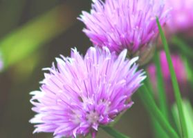 Biesloook , Chive in the garde by Yoquini