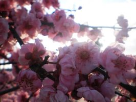 Pink blossoms by TaitRochelle