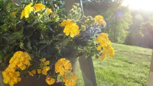 Yellow Lantana by Lootra
