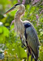 Great Blue Heron by lost-nomad07