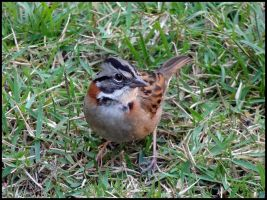 Rufous-collared Sparrow by Seridon
