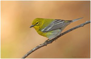 Pine Warbler--male by Ryser915