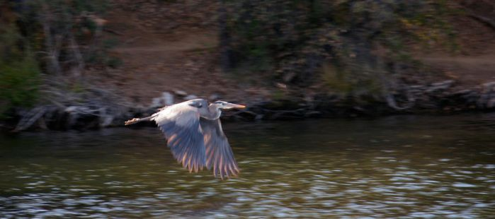 Heron in flight by EisenFeuer