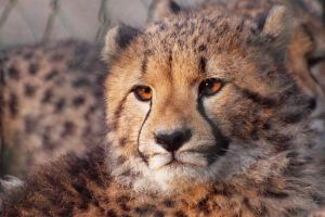 Cheetah Cub by psychostange