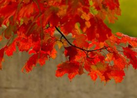 Maple leaves by Graphitation