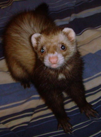 The Cutest Ferret in the World!!!!! by Angelkitty17