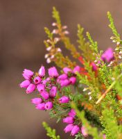 Heather on Rannoch Muir by AgiVega
