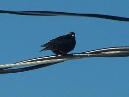 Bird on a wire by Cainamoon