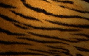 TIGER. FUR by anoos