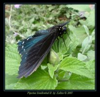 Pipevine Swallowtail II 9862 by Eolhin
