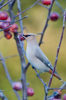 Bohemian Waxwing side left view by avyva