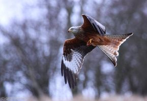 Red Kite XII by fraughtuk
