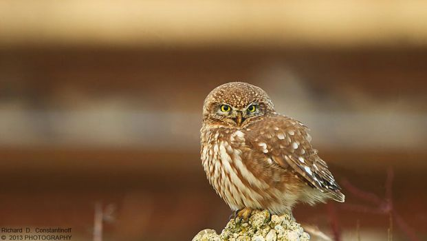Little owl by RichardConstantinoff