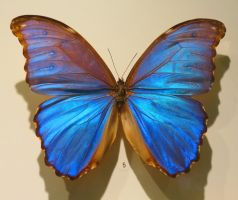 Morpho Butterfly by Kitteh-Pawz