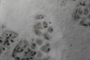 Pawprints by swimming-girl1