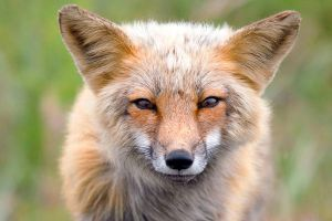 Red Fox by AFolan