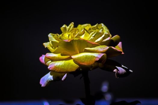A ROSE by Mackingster