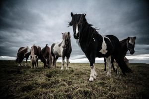 Iceland Horses by BSGuyIncognito
