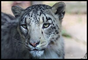 Snow Leopard by Alannah-Hawker