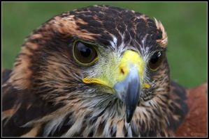 Immature Harris Hawk by cycoze