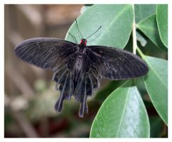 Black Butterfly by ameliasantos