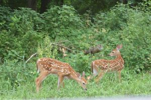 Twin fawns by assemblit