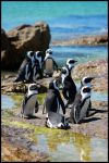 South African Penguins by mikewilson83