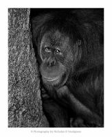 Orangutan by anonymous66