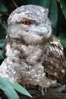 Papuan Frogmouth by LESHA