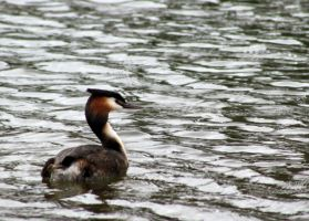 Great crested grebe by Eimiel