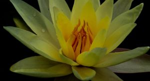 Water Lily 8 by GreyVolk