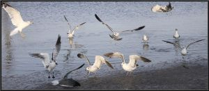 Gulls at Play by SalemCat