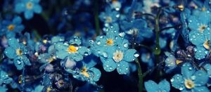 forget-me-nots by nbd12